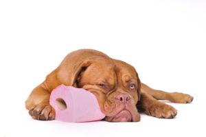 La coprophagie du chien, c'est COPRONAT