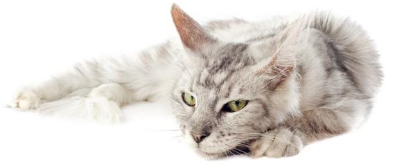 Arthrose du chat des solutions pour le soulager - Solution pour eloigner les chats du jardin ...