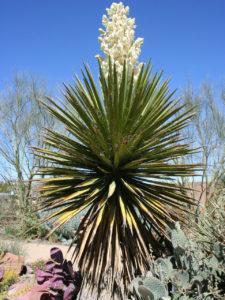 Yucca-schidigera coprophagie