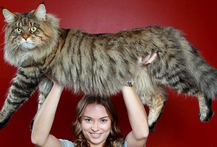 Chat Les Plus Gros Du Monde le record du plus grand chat du monde : rupert le main coon